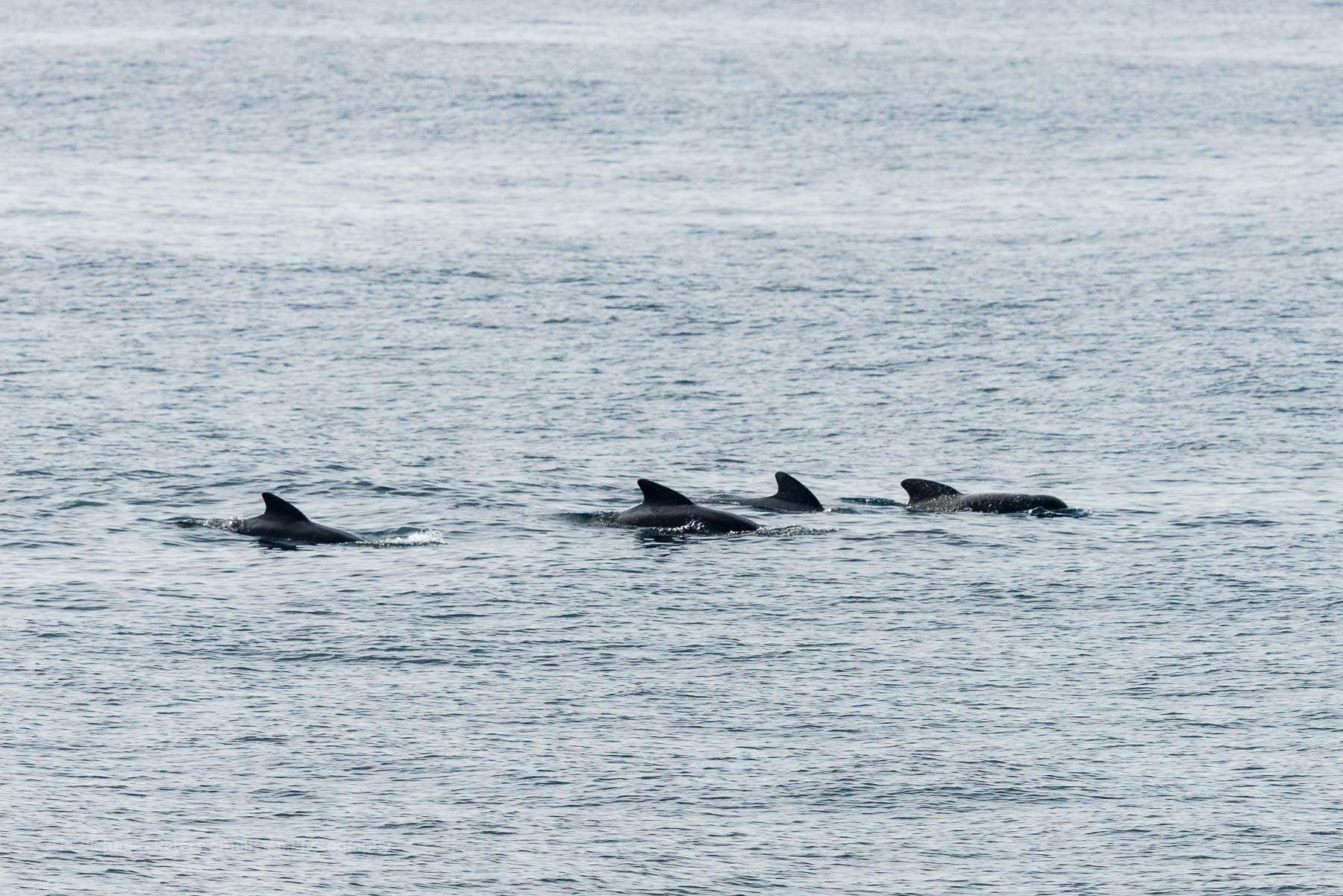 Dolfijnen, Dolphins