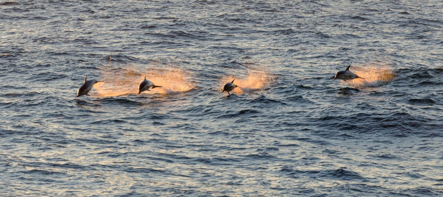 Dolphins, dolfijnen, pcpictures.nl