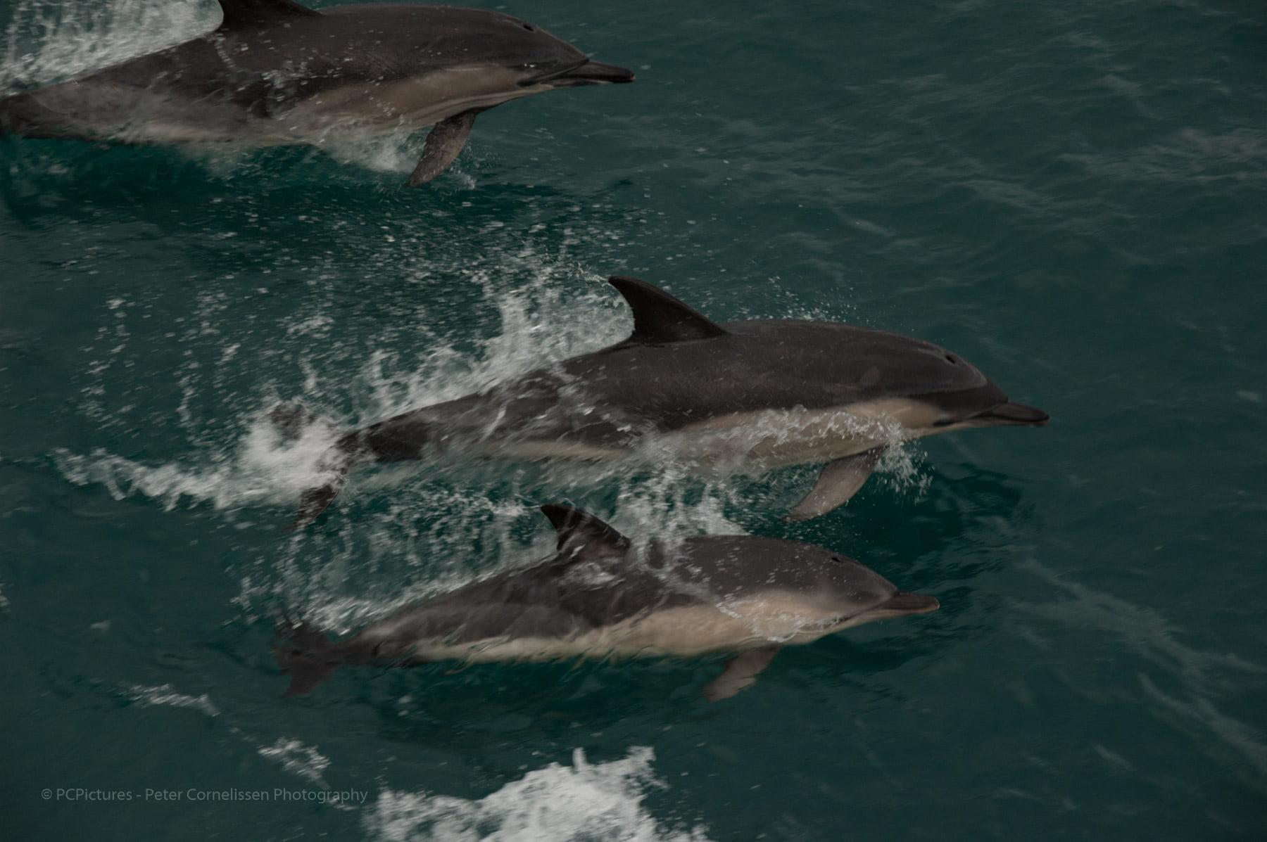 Bristol Channel, Dolfijnen, Zee, springend, wild, zwemmend